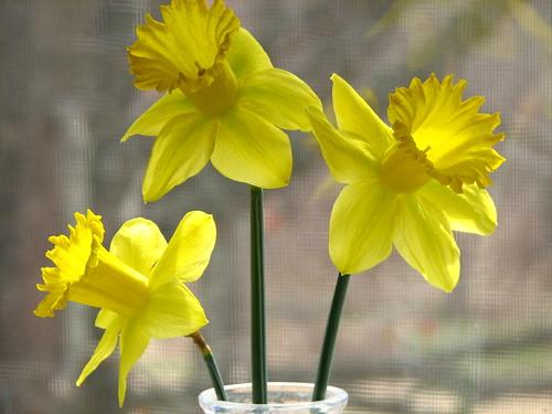 first daffs of spring