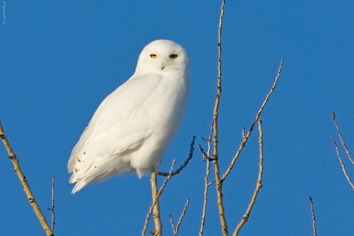 Snowy Owl Male (100% Natural)