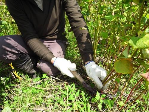 收割蕎麥 20110223