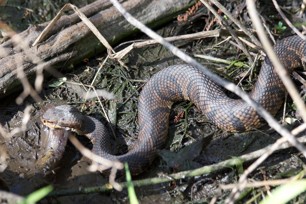 Water Moccasin/Cottonmouth with catfish