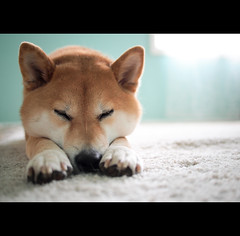 Good Night (kaoni701) Tags: dog cute face pen puppy fuzzy sleep olympus panasonic pancake suki shibainu shiba m43 goonight microfourthirds 20mmf17 epl2