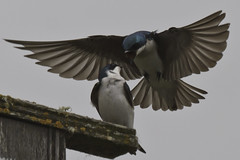 Tree Swallows - Intimidation (Bob Gunderson) Tags: california nature birds northerncalifornia eastbay swallows tachycinetabicolor treeswallows coyotehillregionalpark