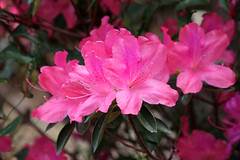 Let Me Regale Ya With My Azaleas!! (kathleenjacksonphotography) Tags: pink flower nature spring azaleas florida bloom azalea blooms abundance springflowers blooming prolific brandonfl tampabayflorida