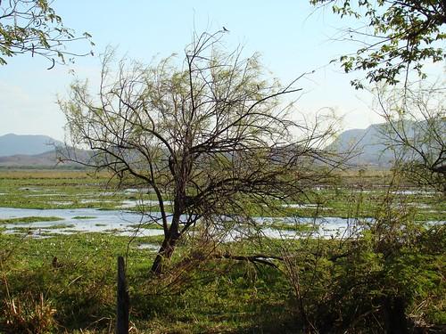 Palo Verde (Parkinsonia aculeata), arbusto que da el nombre al parque, permanece verde durante la época seca.  Parece gustarle a las aves, aquí posadas en sus extremos.