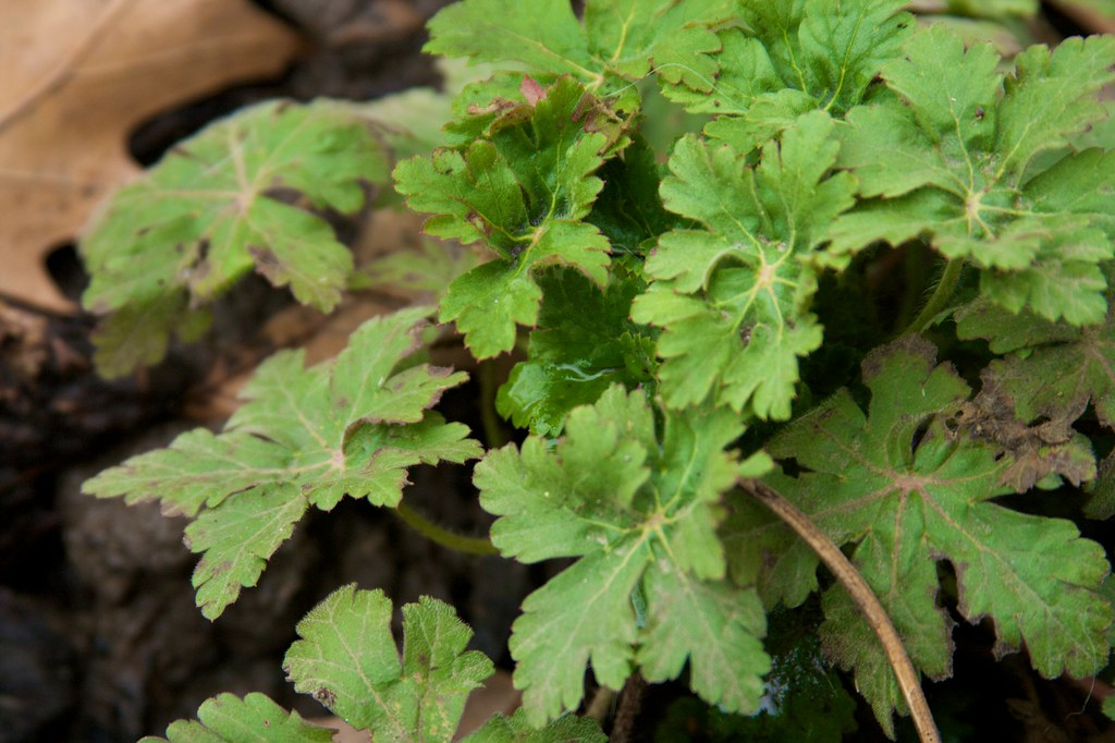 geranium macrorrhizum March 12, 2011