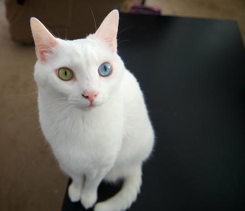 フリー写真素材, 動物, 哺乳類, ネコ科, 猫・ネコ, 虹彩異色症・オッドアイ,