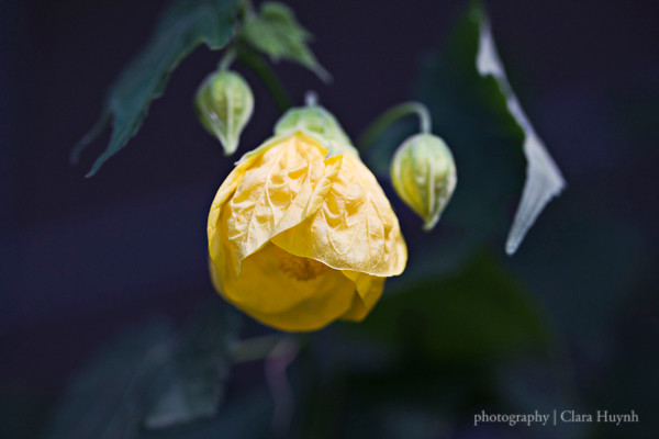 PAD - March 1 - Abutilon