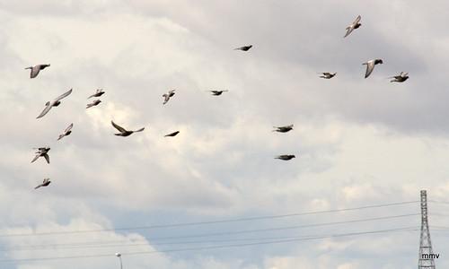 palomas en vuelo