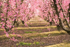 Orchard in Blossom, San Joaquin Valley. (Robert Pearce Photography) Tags: california pink trees march spring blossom branches blossoms peach orchard sanjoaquinvalley 2011 nikond200 robertpearce robertpearcephotography