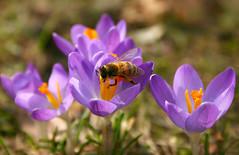 Erste Biene (Prinz Wilbert) Tags: plant primavera animal fauna plante germany spring europa europe pflanze crocus bee explore lente blte allemagne printemps tier springtime vegetal lenz frhling pianta frhjahr  rolina bte zwierz explored