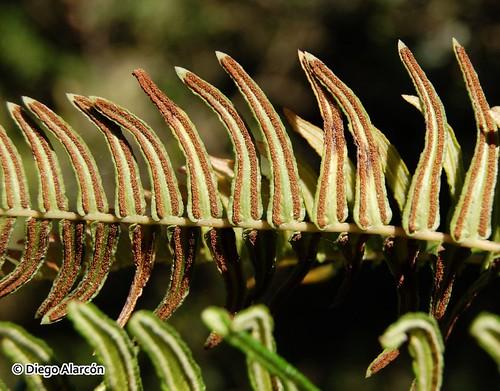 Detalle de los soros en el envés de una hoja fértil del helecho quilquil <i>Blechnum hastatum</i>. Bosques de Hualpén, Región del Biobío.