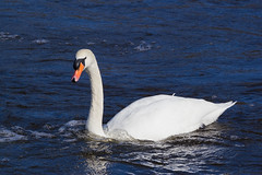 Swan (iamabehr) Tags: white nature birds animals river natural feeding swans f4 weir warkworth coquet flowingwater faunaandflora canon70200mm