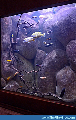 african-cichlids-sf-california-museum