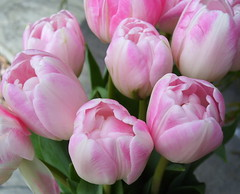 Tulips (Misty Jane) Tags: pink flower petal tulip mixedflowers flowersarebeautiful excellentsflowers exquisiteflowers mimamorflowers flickrflorescloseupmacros photosandcalenda panoramafotogrfico