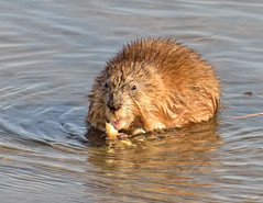 Muskrat Cuteness! (Fort Photo) Tags: cute nature animal mammal rodent nikon colorado critter weld animalia muskrat mammalia latham rodentia d300 ondatrazibethicus 300f4 ondatra