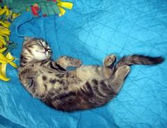 Momo (elycefeliz) Tags: cats momo kittens gatos viva katzen