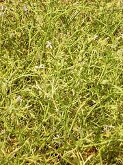 Kameldorn (Zilla spinosa), NGIDn1801256495 (naturgucker.de) Tags: gypten naturguckerde kameldorn cdieterschneider ngidn1801256495 zillaspinosa