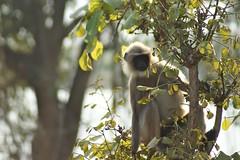 monkey in Nagarhole national park (LaylaLee) Tags: park india national gandhi karnataka rajiv