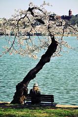 solitude (the kelp knot) Tags: flowers tree beauty cherry washingtondc petals spring blossoms sakura prunus rosaceae nationalcherryblossomfestival courtnayjaniak