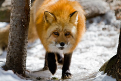 Renard, a Red Fox from the Muskoka Wildlife Centre (Christopher Brian's Photography) Tags: trees snow ontario canada cold colour ice beautiful animal forest spring interesting image picture canine sharp photograph adobe fox muskoka redfox vulpesvulpes mwc renard tpmg animalrefuge muskokawildlifecentre lightroom3 canoneos7d canon7020028ii