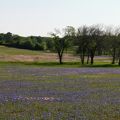 river of flowers (jmtimages) Tags: pink blue green nature field canon square landscape spring texas outdoor weekend 7d april wildflowers friday printemps bluebonnets pinkeveningprimrose williampenn 2011 washingtoncounty