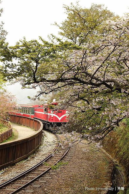 阿里山櫻花季陰天版30