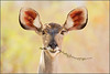 All ears.. (hvhe1) Tags: africa portrait nature leaves animal southafrica bravo branch browser wildlife natuur safari eat antelope afrika mala gamedrive gamereserve naturesfinest malamala greaterkudu interestingness3 grazer kudutragelaphusstrepsiceros specanimal koedoe hvhe1 hennievanheerden