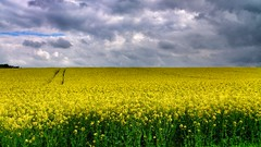 Rapeseed field (Davoski) Tags: yellow spring chilterns april stormclouds rapeseed