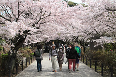 Kamakura   Hanami (Toni Kaarttinen) Tags: japan  japonia    jap japonsko jaapan  japani japon xapn    japn jepang an tseapin giappone  japna japonija  japo  japonska japn hapon  japonya nht bn japanese kamakura formercapital hanami sakura cherryblossom cherryblossoms cherries temple shrine zen garden