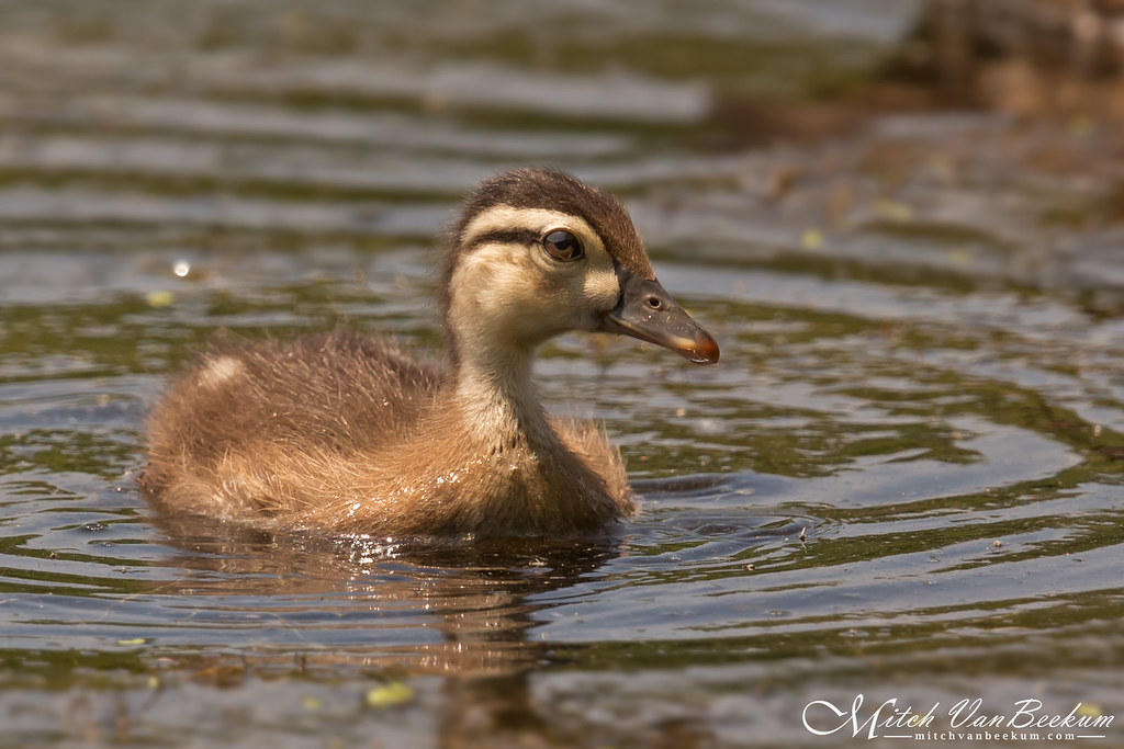 Wood Duckling (Explored)