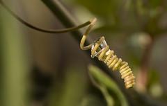 Viticcio di Passiflora (vale2174) Tags: passiflora fiori piante macro closeup