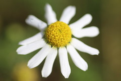 Stinking Chamomile Flower (non-native) (corey.raimond) Tags: stinkingchamomile chamomile anthemis anthemiscotula asteraceae plant wildflower weed rayflowers discflowers nonnative