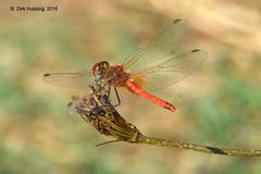 Red-veined Darter 98237gb (dirkhuitzing) Tags: redveineddarter zwervendeheidelibel sympetrumfonscolombii