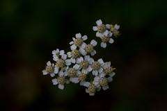 yarrow (olgabrezhneva) Tags: nature flower green summer outmn traveling travel belarus       natural flora       minsk herb herbs soft light rest relax naturephoto bug outdoor landscape insect field macro yarrow