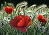 Poppy (Dragan*) Tags: light red plant flower love nature grass closeup spring serbia may valentine poppies passion getty belgrade beograd valentinesday papaver srbija kalemegdan cvet singidunum fieeld