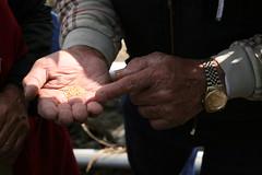 珍貴的阿禮部落小米種原。攝影:廖靜蕙。