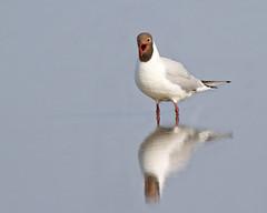 The Scream (Andrew Haynes Wildlife Images) Tags: reflection bird nature wildlife gull norfolk nwt blackheadedgull cleymarsh canon7d ajh2008