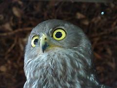 Barking Owl (guigoune) Tags: birds ninoxconnivens