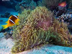 Anemone Magnifico e Pesce Pagliaccio (Marco Paravella) Tags: nemo yolanda underwater sub sheikh sharmelsheikh sharm reef pescepagliaccio pesce marrosso mare magnifico foto anemone barrieracorallina sunkentreasureaward