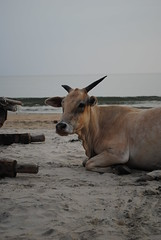 Cow sunbathing on beach (amazing_tina) Tags: sea india water cow sand funny goa unexpected calmsea palolembeach indiancow unusualpicture lyingcow cowsunbathing