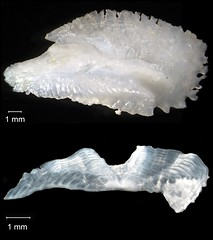 Goliath Grouper Otolith (FWC Research) Tags: fish florida research otolith