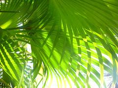 Green leaf (Thierry Valdin) Tags: france tropical arbre palmier feuille maisonfolio reunion