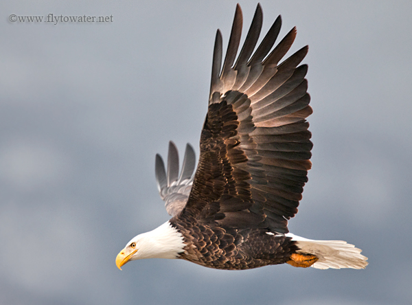 Bald Eagle Underwing