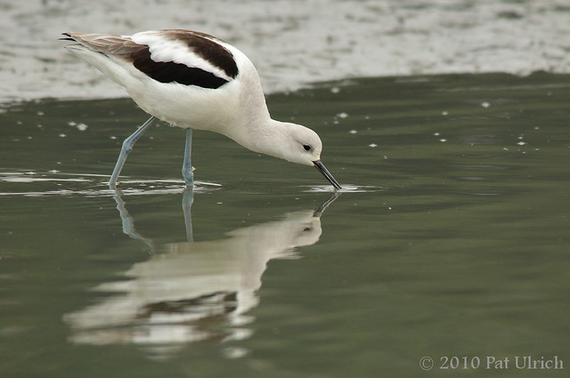 Feeding American avocet - Pat Ulrich Wildlife Photography