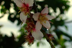 Almond flowers after the rain