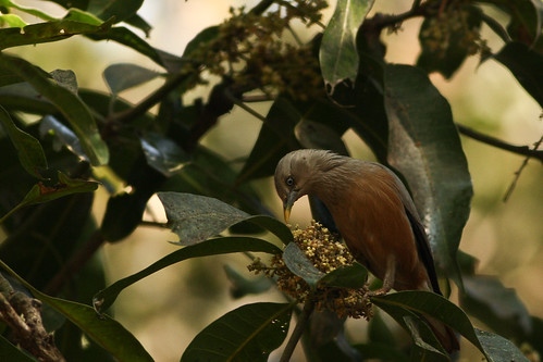 grey headed starling spotted at lalbagh...