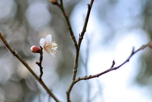 梅 / japanese apricot