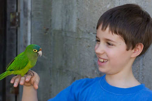 Orange Fronted Parakeet in Captivity