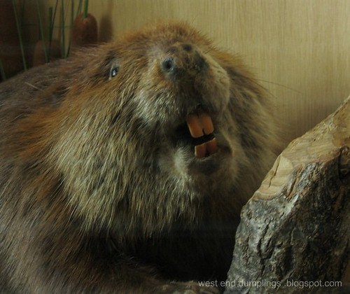 Happiest Beaver in the World