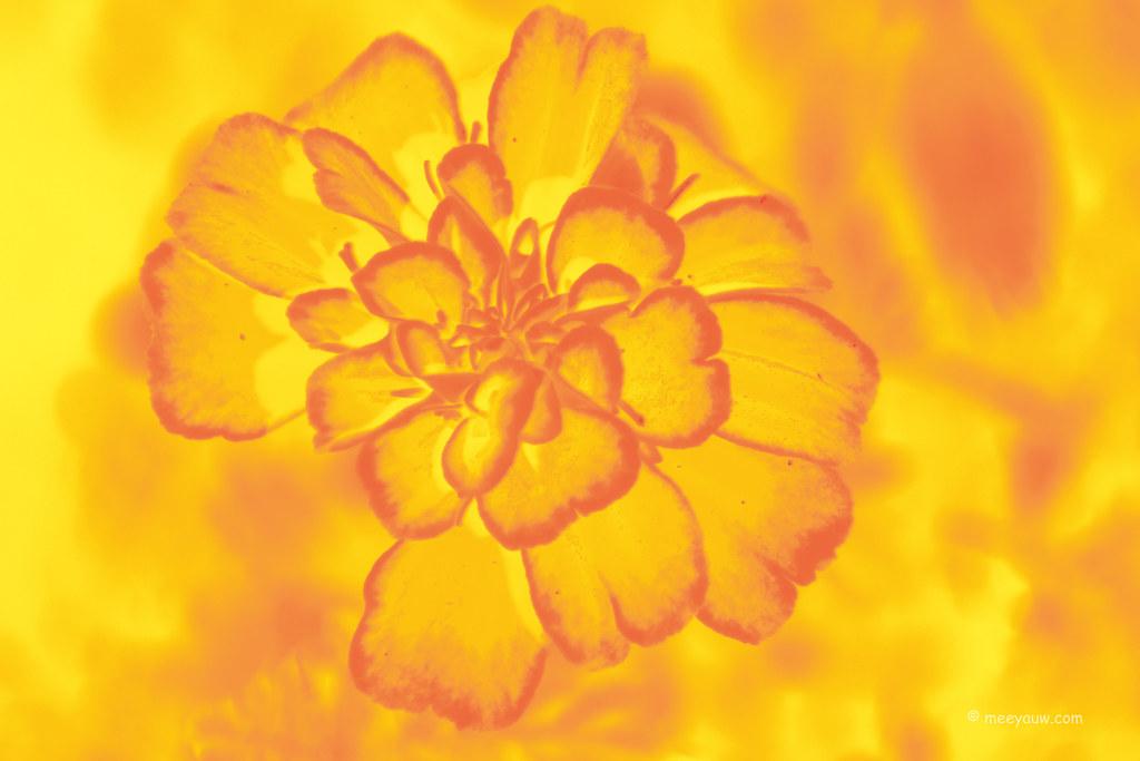Marigolds 5.jpg